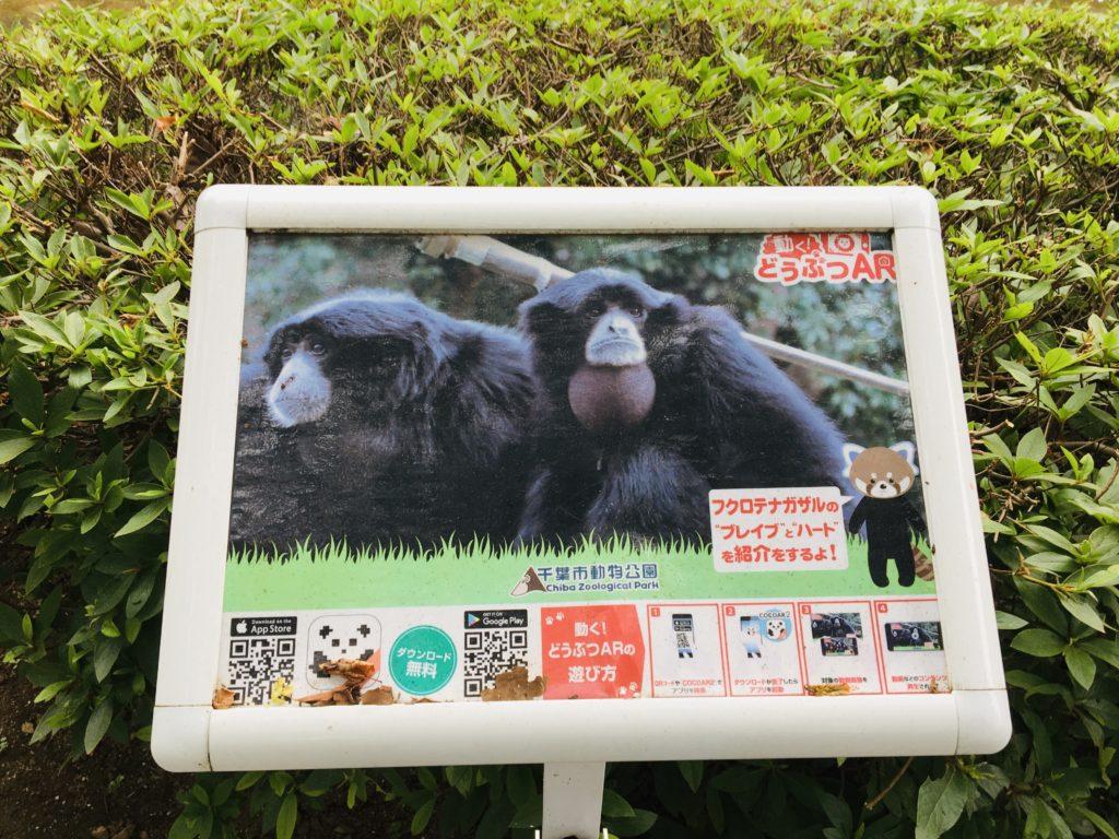 千葉市動物公園のフクロテナガザルの写真