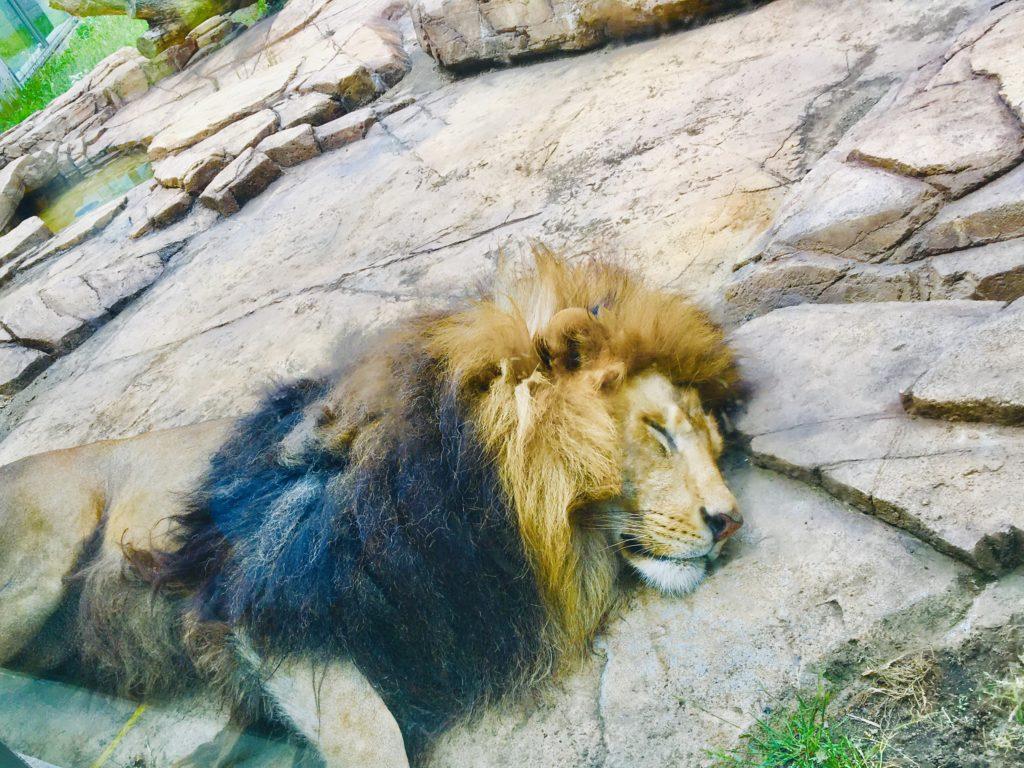 千葉市動物公園のライオンの寝顔