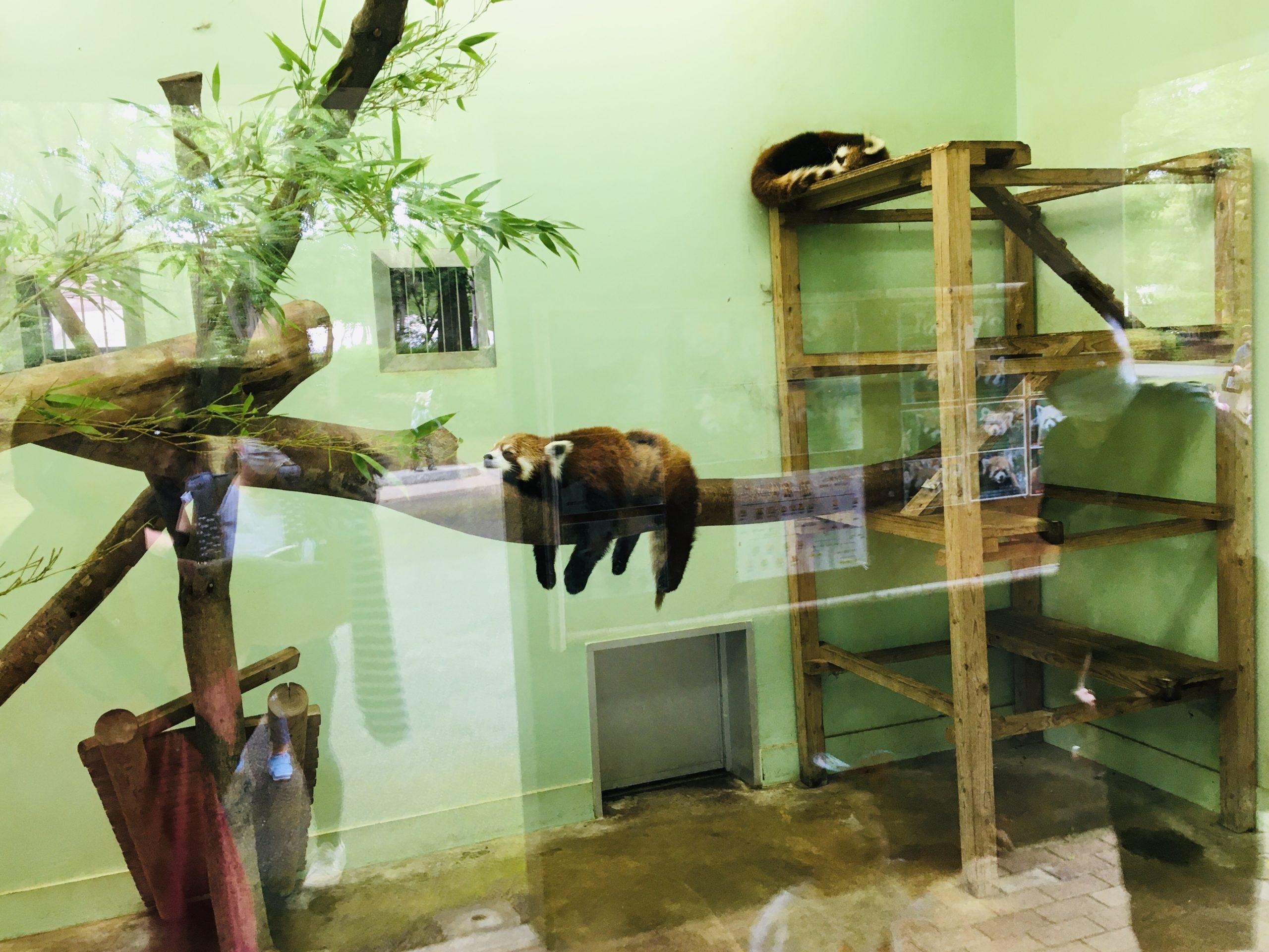 ダラーンとした千葉市動物公園のレッサーパンダ