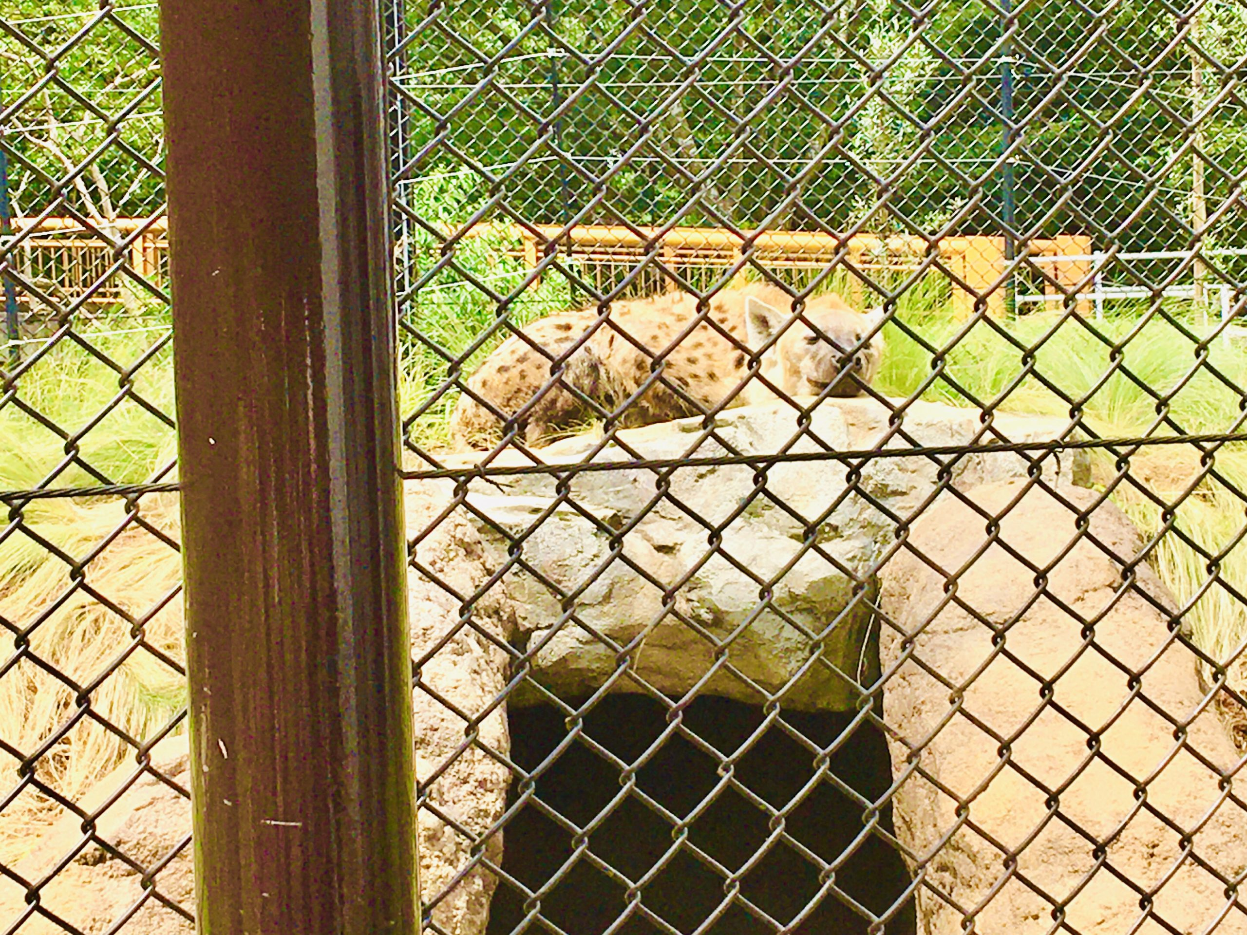 千葉市動物公園ハイエナ写真