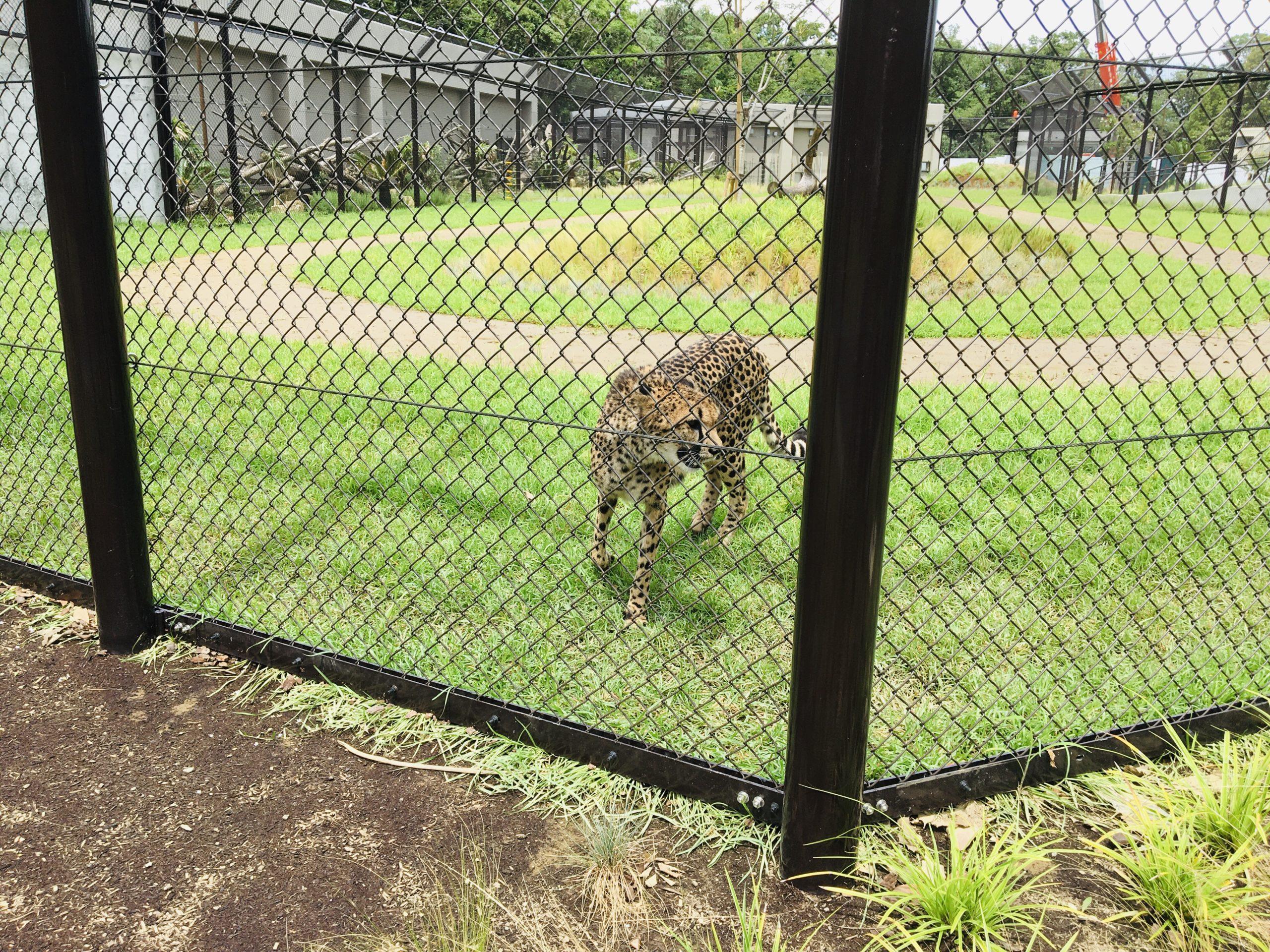千葉市動物公園のチーター写真