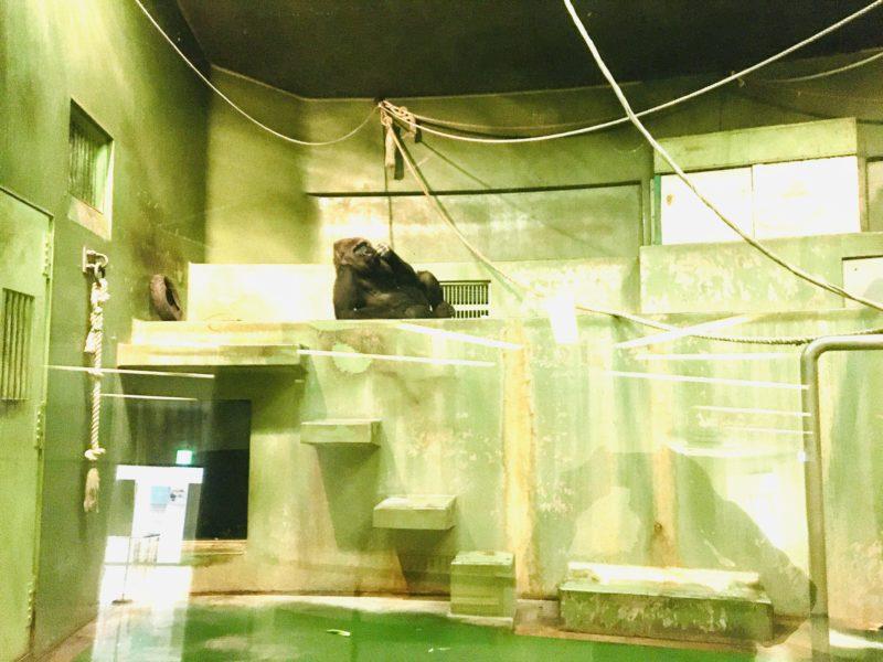 千葉市動物公園のゴリラローラの室内展示の写真