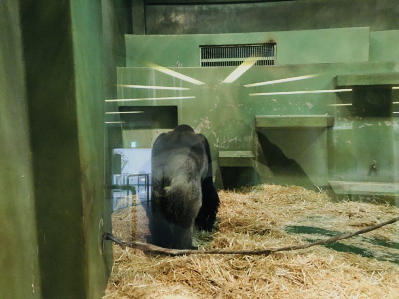 千葉市動物公園のゴリラのモンタの後ろ姿の写真