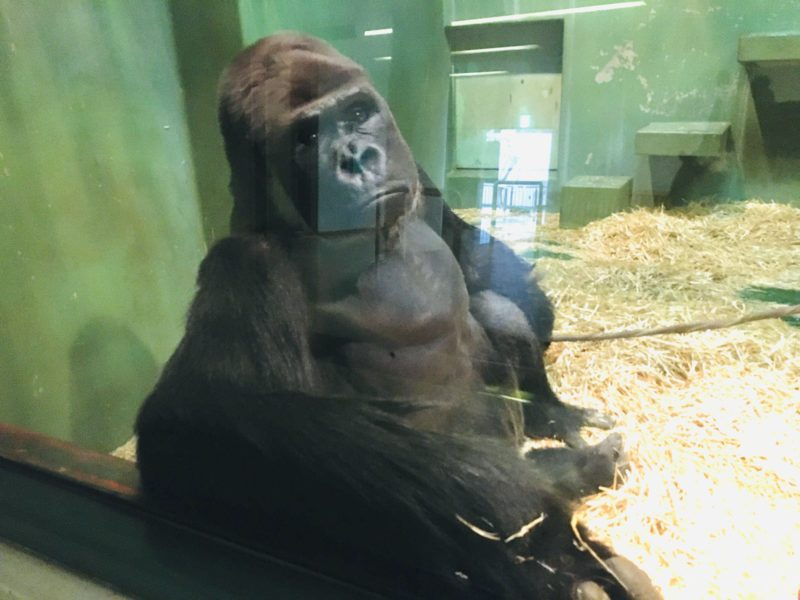 千葉市動物公園のゴリラのモンタと目が合った!