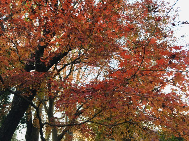 千葉市動物公園の通路の紅葉