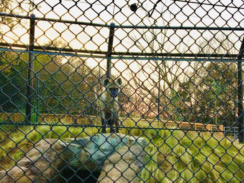 千葉市動物公園のハイエナのイトゥバさん