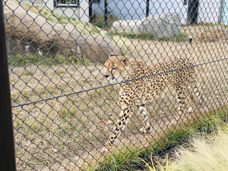 千葉市動物公園のチーターさん