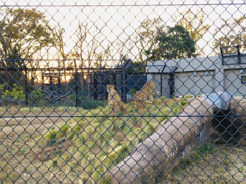 千葉市動物公園のチーター3頭の写真